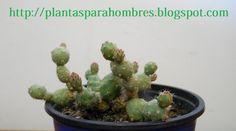 Plantas para hombres: Tephrocactus flexispinus