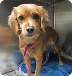 3/17/17 Manhattan, NY - Spaniel (Unknown Type) Mix. Meet Chloe, a dog for adoption. http://www.adoptapet.com/pet/17779340-manhattan-new-york-spaniel-unknown-type-mix