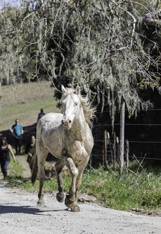 KSBY.com | San Luis Obispo and Santa Barbara Area News        Monday marked a day of celebration as Silver King and his reunited family band were released onto Return to Freedom's 2,000-acre satellite sanctuary in San Luis Obispo County.    The white stallion and three