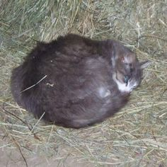 Meet Wildcat, a Domestic Mediumhair from Chesterland, OH, United States