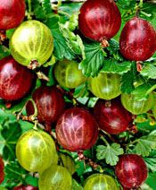 New Arrival 30 Pcs A Bag Red Currant Fruit Plant Pan-american Gooseberry Seeds Lantern Fruit Seed Sementes For Garden Planting