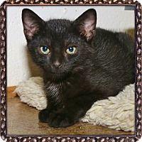 Shippenville, Pennsylvania - Domestic Shorthair. Meet Climber, a for adoption. https://www.adoptapet.com/pet/18747534-shippenville-pennsylvania-cat