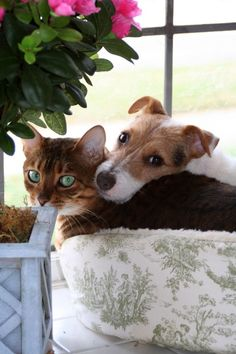 Jack Russell Terrier Dog and Cat - Unlikely Friendships Animals And Pets, Baby Animals, Cute Animals, Amor Animal, Photo Chat, Raining Cats And Dogs, Tier Fotos, Dog Friends, Real Friends