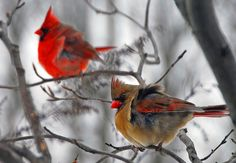 """Cardinals in the Winter (my mom always called them the """"Christmas Birds"""")"""