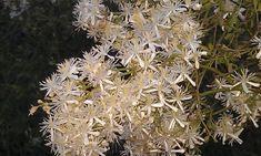 Coconut Flakes, Dandelion, Spices, Flowers, Plants, Spice, Dandelions, Plant, Taraxacum Officinale