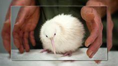 Funny pictures about A white Kiwi. Oh, and cool pics about A white Kiwi. Also, A white Kiwi photos. Beautiful Birds, Animals Beautiful, New Zealand Wildlife, Baby Kiwi, Rare Albino Animals, Kiwi Bird, Tier Fotos, Mundo Animal, Fauna