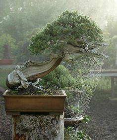 """""""Come Into My Web"""". Bonsai."""