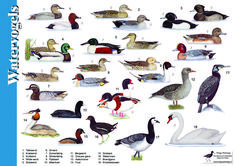 Herkenningskaart / zoekkaart Watervogels