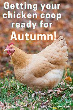 Cute Chickens, Raising Chickens, Chickens Backyard, Chicken Story, Chicken Pictures, Guinea Fowl, Chicken Humor, Coops, Healthy Chicken
