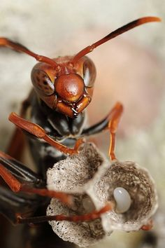 Mother wasp and eggs!  Call A1 Bee Specialists in Bloomfield Hills, MI today at (248) 467-4849 to schedule an appointment if you've got a stinging insect problem around your house or place of business!