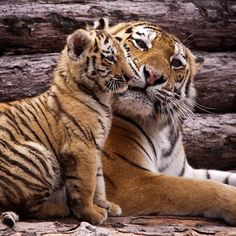 Tiger and cub Wild Animals Photos, Animals And Pets, Baby Animals, Cute Animals, I Love Cats, Big Cats, Cool Cats, Tiger Spirit Animal, Tiger Moms