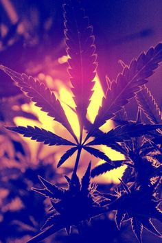 Secrets of the Pros: 24 Cannabis Cultivation Tips Cannabis Wallpaper, Weed Wallpaper, Weed Backgrounds, Wallpaper Backgrounds, Medical Marijuana, Cannabis Cultivation, Street Art, Dope Wallpapers, Smoking Weed