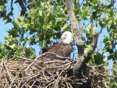 Bald Eagle Nest sighting! • Tofu Fairy's Brain Pile