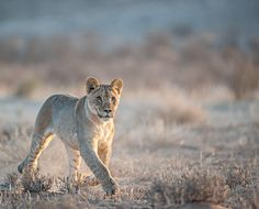 Kgalagadi Transfrontier Park, South Africa,  Early morning drive on our way from Rooiputs to Kij Kij