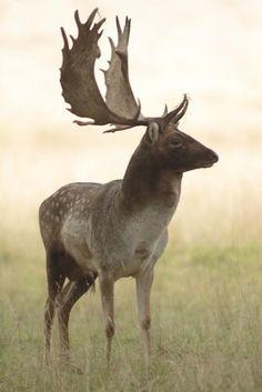 Stag Fallow Deer