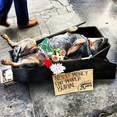 The best panhandling ever! Galen the Blue Heeler that plays dead!!!!!