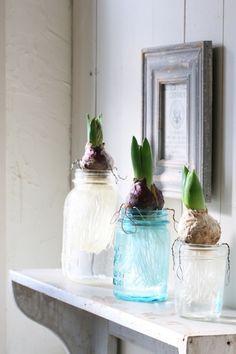 Maison Jars hiyasinnsu メイソンジャーで ヒヤシンスの水栽培