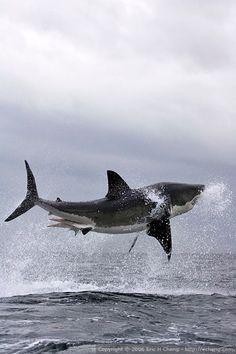 Great white shark breach, False Bay, Simonstown, S.Africa // Eric Cheng's Journal (click image for more photos