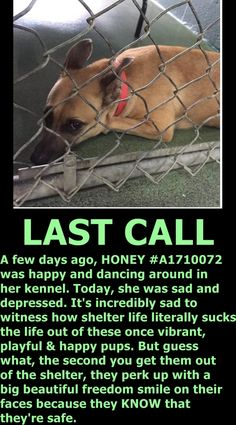 9 10/15 STILL THERE!!! Wouldn't it be awesome to see Honey on her freedom ride out of this doggie jail? She deserves better. She is super friendly and gets along with other dogs and wants to be your new best friend. PLEASE HELP HER BE HAPPY AGAIN. Honey is waiting for a foster or adopter to come save her life ASAP at Miami Dade Animal Services shelter