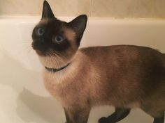 Siamese Cat Breed Information: Behavior, Pictures and Care |Cattime
