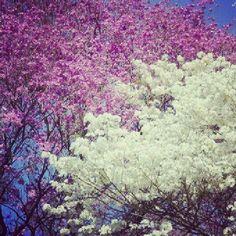 Lapachos en flor... las calles se llenan con esos colores en primavera
