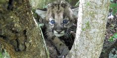 This panther kitten's fuzzy face and happy story simply ooze goodness