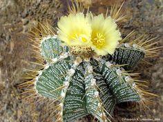 Cactus estrella: una suculenta con mucha espina