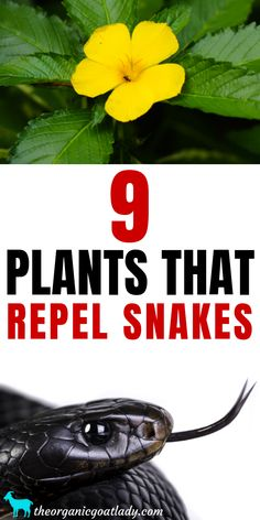 diy garden 9 Plants That Repel Snakes - The Organic Goat Lady, Natural Snake Repellent, How to Keep Away Snakes, Gardening Tips, Gardening DIY Gardening For Beginners, Gardening Tips, Container Gardening, Gardening Courses, Flower Gardening, Gardening Supplies, Planting Flowers, Plants That Repel Spiders, Keep Snakes Away