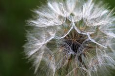 Soft seeds by Henny in Denmark, via Flickr