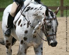 pony of the americas | Leopard Appaloosa Pony of the Americas English by ~HorseStockPhotos on ...