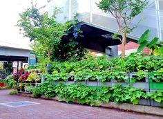 ■ Milk crate Vegetable Vertical cultivation・・ Sweet potato・・