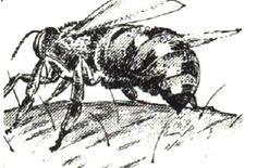 Адская машина медоносной пчелы. http://www.etolen.com/index.php?option=com_content&view=article&id=7034&Itemid=101