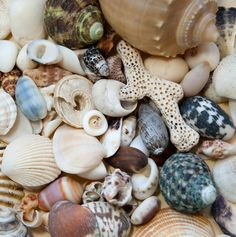 The Outer Banks is a fantastic place to go Shelling. Outer Banks Nc, Outer Banks Vacation, Outer Banks North Carolina, Duck Nc, Ocracoke Island, Carolina Beach, South Carolina, Hatteras Island, Shell Beach
