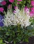 Astilbe chinensis 'Vision in White'