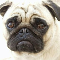 This is what a cute pug looks like