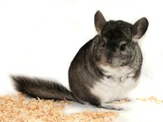 Own a Chinchilla. I have always wanted a Chinchilla, ever since I was very little. I think they are incredible animals. I love how squirrel like they are and how they hop about. They are a big ball of fluff.