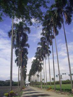 Alameda de Palmeras en Palmira, Valle del Cauca
