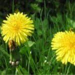 Erbe spontanee commestibili: riconoscerle e coltivarle