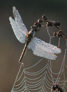 Dew on a Dragonfly by Vadim Trunov
