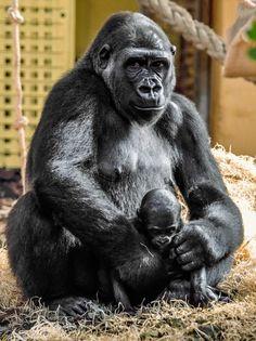 V dubnu loňského roku se také Moja stala pyšnou matkou, když porodila své první mládě, samičku Duni. Foto: Luisma Fernandez Ventura
