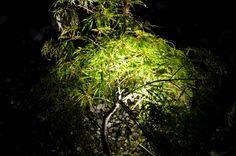 Das feine Laub des Fächerahorns spielt förmlich mit dem Licht.