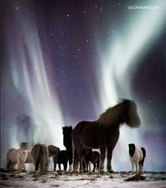 When traveling in Iceland, you have the unique chance to see Northern Light (Aurora Borealis) on horse back. Several horse tour operators offers these tours, and if you go - you are in for an unforgettable experience. The Northern Lights are magical and absolute stunning, and the horses adds an authentic Icelandic touch to the activity. Photo by Gigja Einars.
