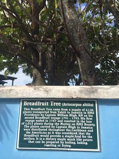 Historic breadfruit tree.