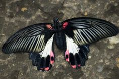 Black, White and Pink Butterfly, Known as the Papilio Rumanzovia  FREE