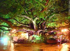 figueira-centenaria-florianopolis