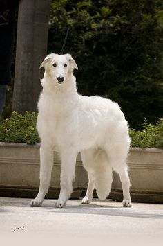 ... about Rare Dog Breeds on Pinterest | Rare Dogs, Dog Breeds and Dogs