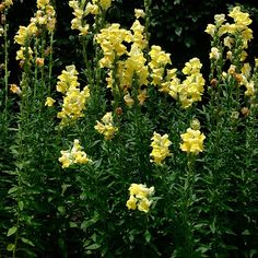 snapdragons - annual flower that comes in a variety of colors. re-seed like crazy (I have a few growing in the grass from deadheading last fall! Fine Gardening, Gardening Tips, Growing Grass From Seed, Antirrhinum, Annual Flowers, Warm Colors, Garden Plants, Perennials, Lawn