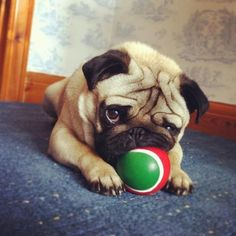 This is MY ball! Stop stealing and throwing it.
