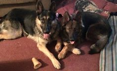 German Shepherd Lost & Found 1/1/15   POTOSI, MO -- 2 LOST DOGS  Lost black & tan male GSD and a red sable long haired female GSD lost from Potosi Missouri please contact if you think you have any information 573-854-0716. Both went missing Sunday night 12/28 — with Sharon Stanfield, Kendra Stanfield and Allison Hance.