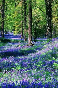 The goodness of a bluebell forest. Love how Mother Nature dresses up to cheer us! NOT MOTHER NATURE! Beautiful World, Beautiful Gardens, Beautiful Flowers, Beautiful Places, Beautiful Pictures, Woodland Garden, Meadow Garden, Woodland Flowers, Garden Path